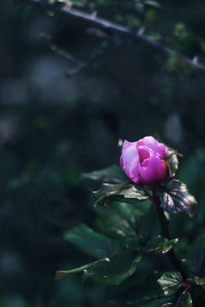 scattare foto floreali con il tuo smartphone una peonia di montagna