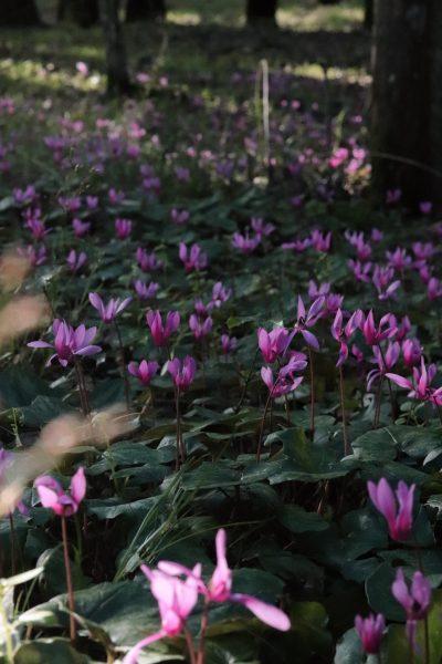 scattare foto floreali con il tuo smartphone un prato di ciclamini