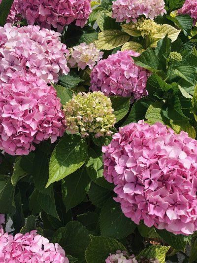 scattare foto floreali con il tuo smartphone un cespuglio di ortensie